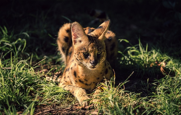 Картинка трава, взгляд, дикая кошка, сервал