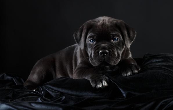 Фото обои черный, кане-корсо, красавец, щенок
