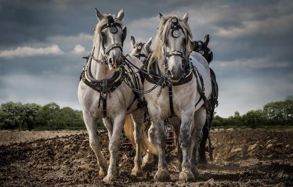 Картинка работа, кони, пашня
