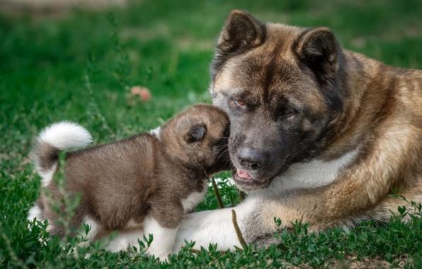 Картинка малыш, щенок, мама, американская акита