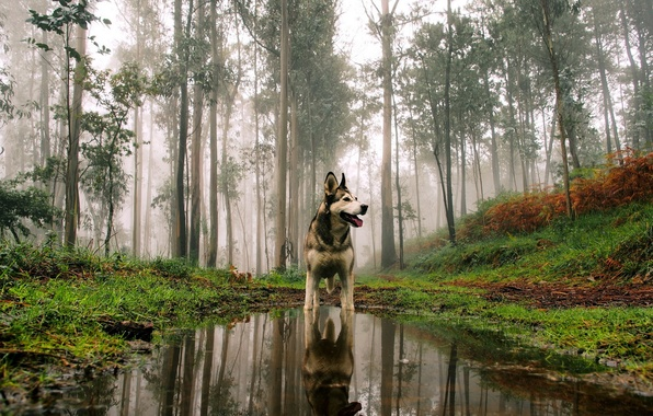 Картинка лес, взгляд, друг, собака