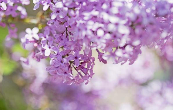 Картинка макро, цветы, ветки, лепестки, размытость, Сирень, розовые