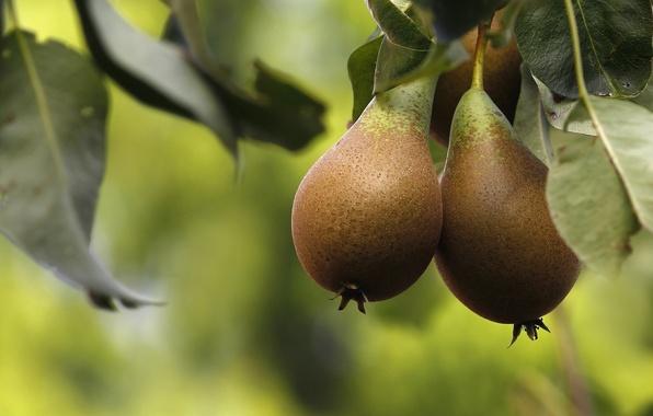 Картинка макро, дерево, плоды, фрукты, груши