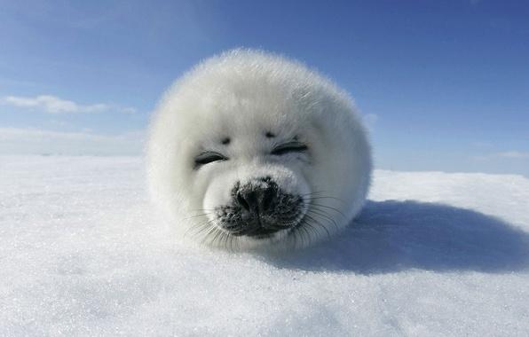 Картинка лед, небо, снег, животное, тюлень