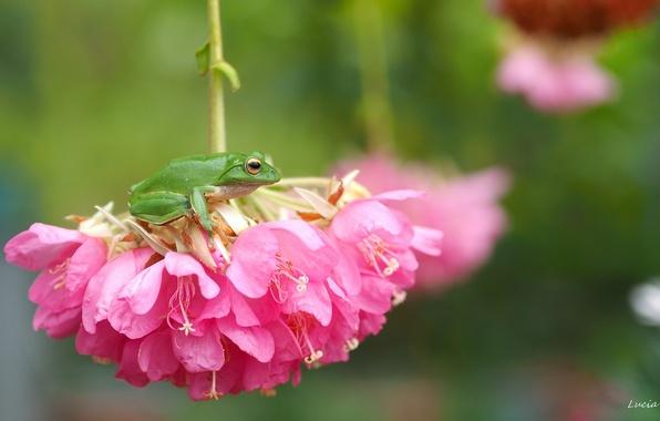 Картинка макро, цветы, лягушка, квакша, соцветие, древесница
