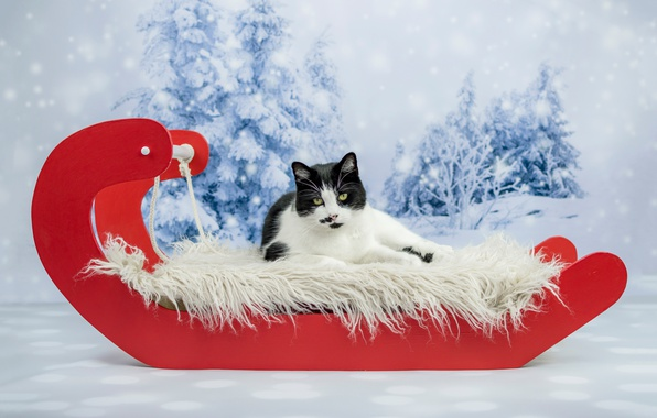 Картинка зима, кошка, кот, взгляд, снег, красный, фон, праздник, черно-белый, новый год, рождество, ели, лежит, мех, …