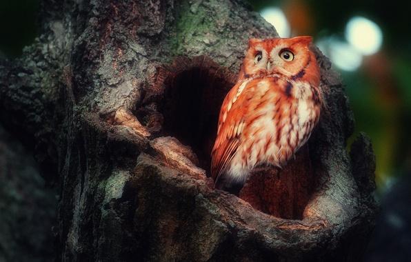 Картинка лес, дерево, сова, птица, дупло, совень рыжая