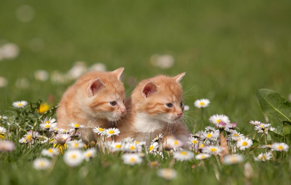 Рыжие кошки обои на рабочий стол