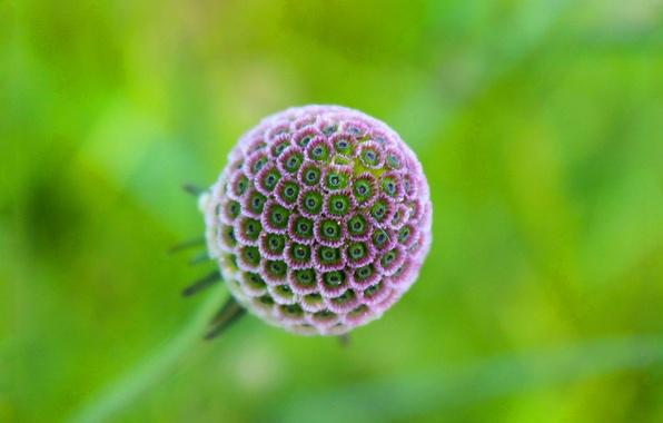 Картинка цветок, природа, шар, лепестки, экзотика