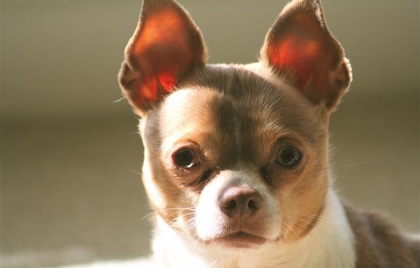 Картинка взгляд, собака, уши, мордашка, чихуахуа