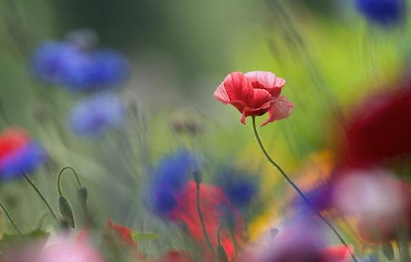 Картинка цветы, фон, мак