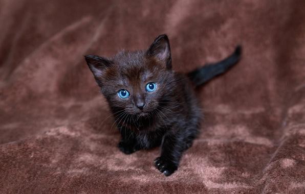 Картинка взгляд, котенок, черный, голубоглазый