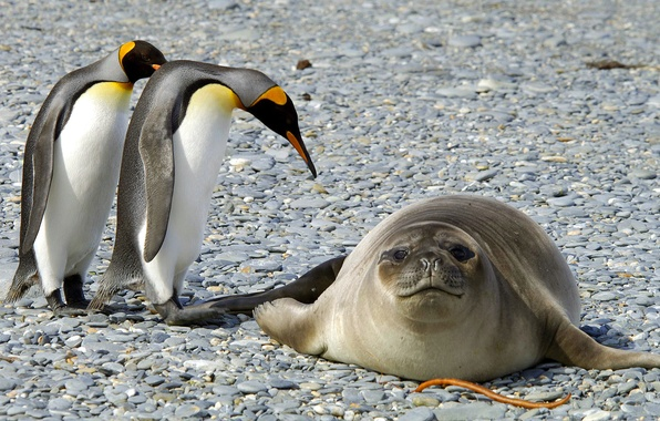 Картинка животные, снег, птицы, природа, тюлень, лёд, пингвины, мороз, Антарктида