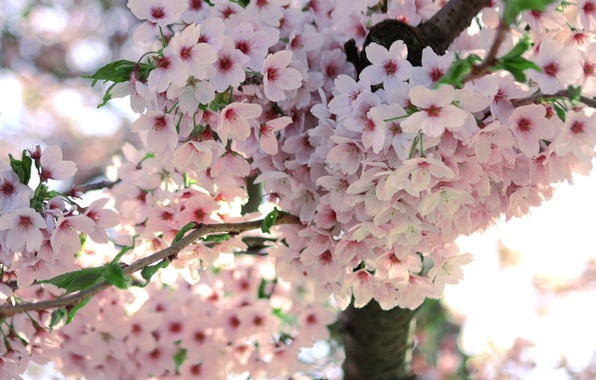 Картинка макро, цветы, дерево, ветка, весна, сакура, цветение