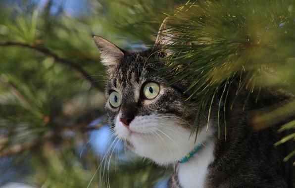 Картинка кошка, кот, взгляд, ветки