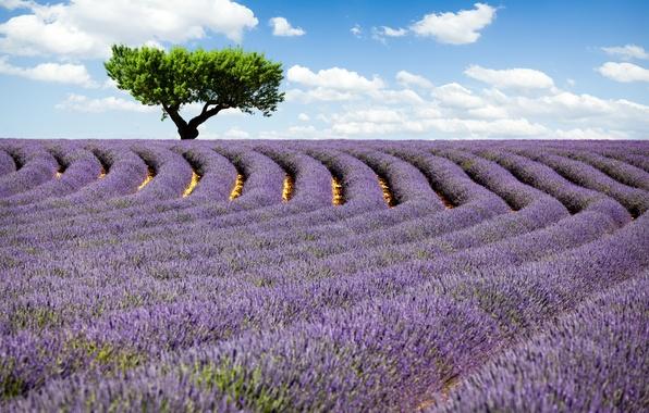 Картинка поле, небо, облака, цветы, природа, дерево, лаванда