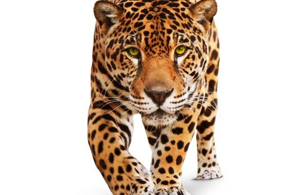 Картинка животное, хищник, белый фон, ягуар, дикая кошка, зеленые глаза