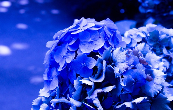 Картинка цветы, ярко, синяя, цветение, гортензия