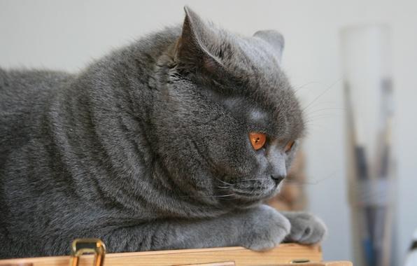 Картинка глаза, кот, кошки, серый, животное, обои