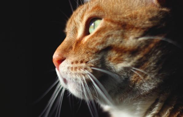 Картинка кот, взгляд, животное, рыжий, мордочка
