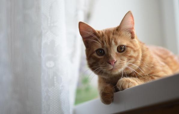 Картинка усы, взгляд, шерсть, Кот, рыжий