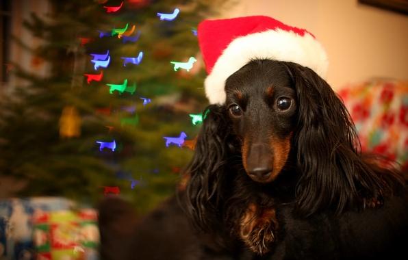 Картинка фон, праздник, собака