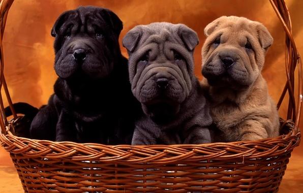 Картинка собаки, корзина, щенки, шарпей