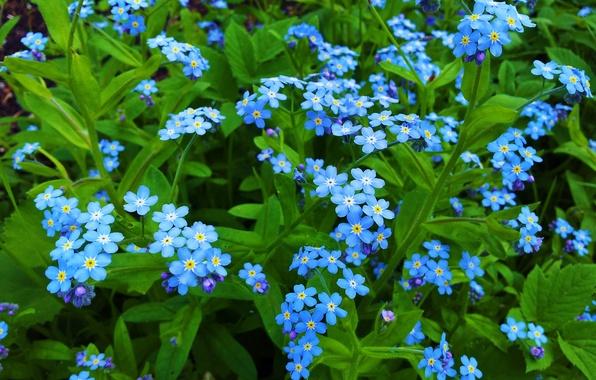 Картинка макро, лепестки, незабудки, голубые цветы