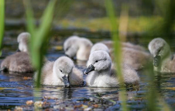 Картинка вода, птицы, камыш, малыши, лебеди, птенцы