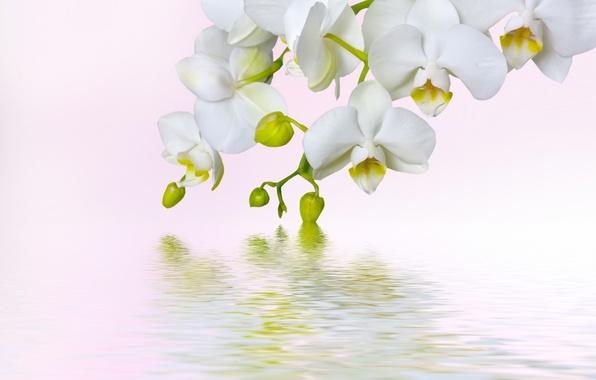 Картинка макро, цветы, красота, белая, white, орхидеи, орхидея, flowers, beauty, фаленопсис, phalaenopsis, Orchid, petals, tenderness, branch, …