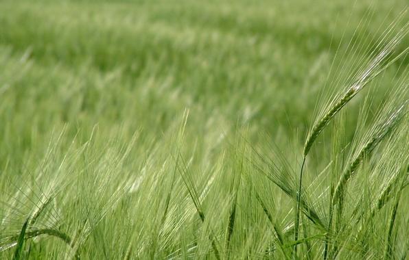 Картинка пшеница, зелень, поле