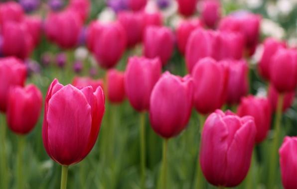 Картинка поле, фокус, лепестки, размытость, тюльпаны, розовые, field, Tulips