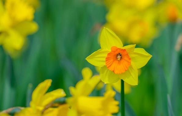 Картинка весна, лепестки, сад, луг, нарцис