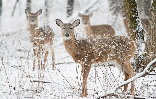 Картинка winter, deer, wildlife, snowing