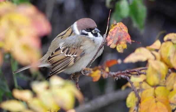 Картинка осень, природа, птица, листва, ветка, воробей