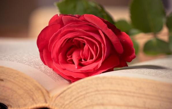 Картинка цветок, макро, розовая, роза, книга, красная