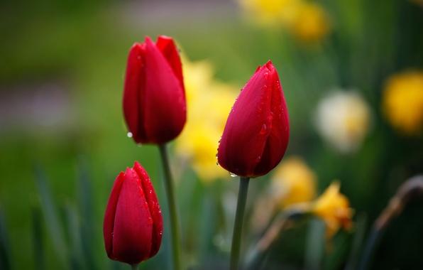 Картинка капли, макро, цветы, красный, природа, фон, фокус, Тюльпаны, бутоны