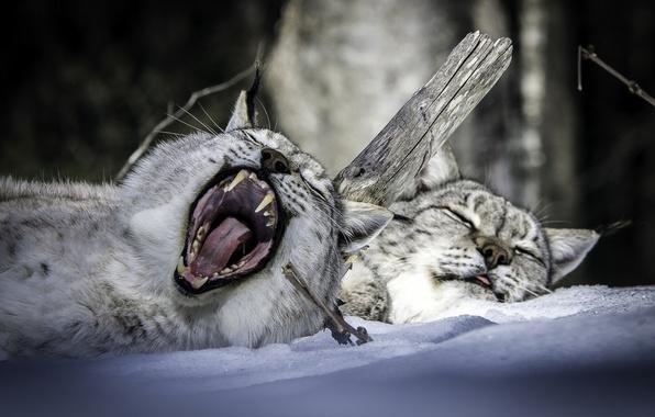 Картинка зима, снег, отдых, сон, пасть, рысь, парочка, зевок