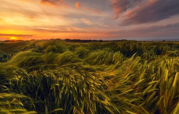 Картинка пшеница, поле, лето, небо, солнце, закат, вечер, Июнь