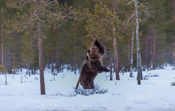 Картинка снег, кадр, медведь, сосны
