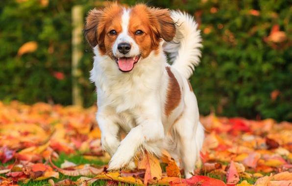 Картинка осень, листья, радость, настроение, собака, Коикерхондье