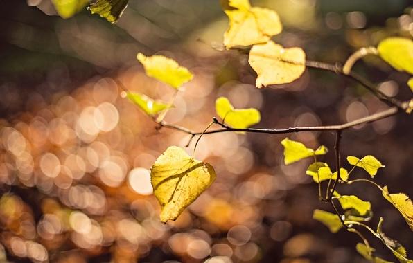 Картинка листья, макро, желтый, фон, дерево, widescreen, обои, размытие, ветка, листик, wallpaper, листочек, yellow, широкоформатные, background, …