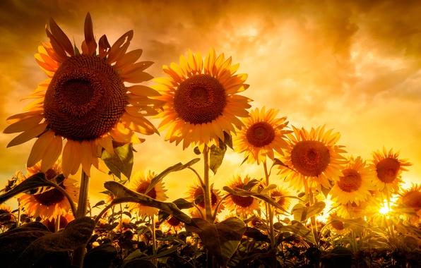 Картинка небо, солнце, подсолнухи