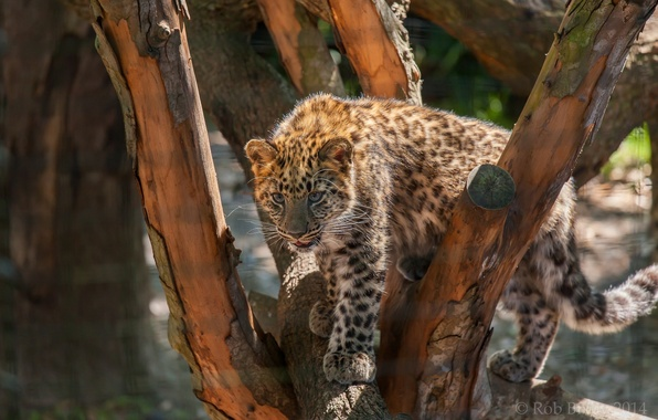 Картинка дерево, хищник, пятна, леопард, детеныш, дикая кошка