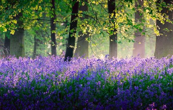 Картинка лес, свет, деревья, цветы, природа, Англия, весна, Май, колокольчики