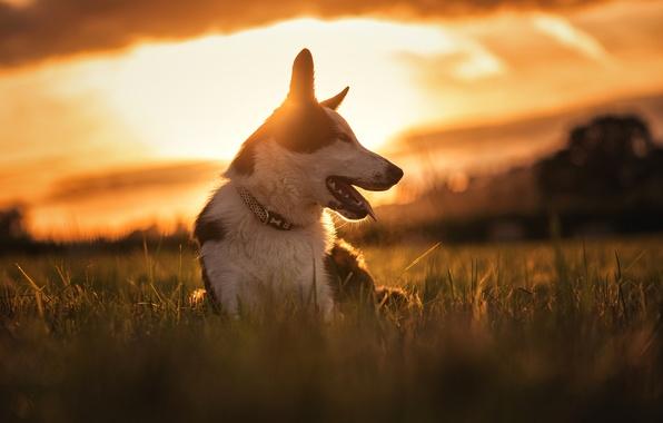 Картинка закат, природа, собака, луг, Бордер-колли
