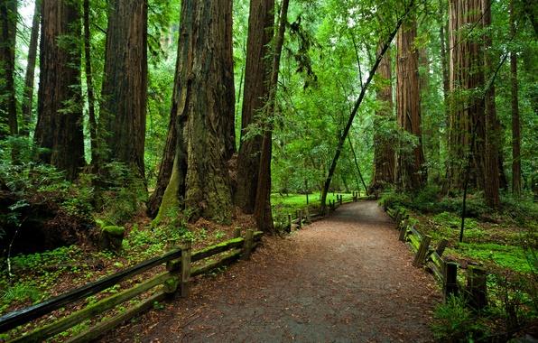 Картинка лес, деревья, забор, Калифорния, тропинка, национальный парк, Redvud