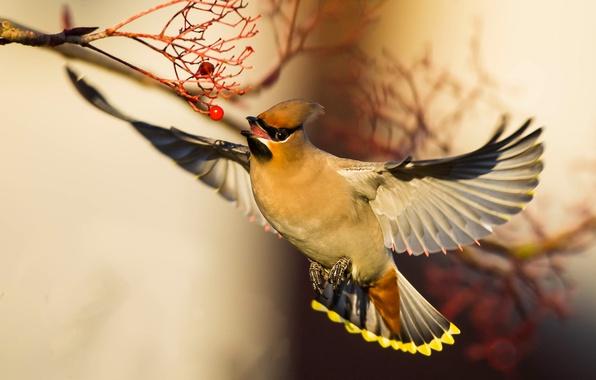 Картинка птица, крылья, боке, свиристель