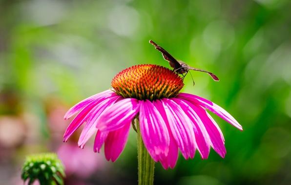 Картинка цветок, бабочка, лепестки, мотылек, эхинацея