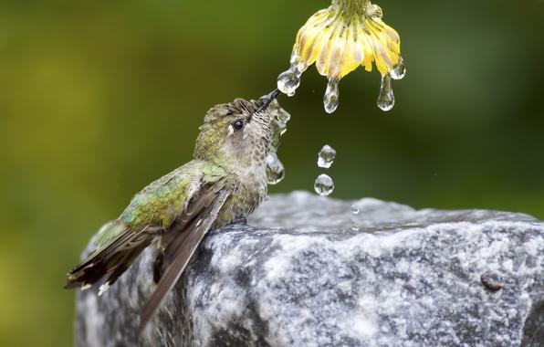 Картинка цветок, вода, капли, природа, птица, камень, колибри